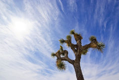 Joshua Tree Royalty Free Stock Photography