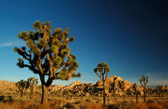 joshua tree fotografia stock