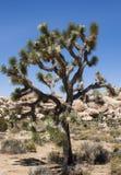 Joshua Tree Stockfoto