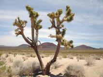 joshua tree Zdjęcie Royalty Free