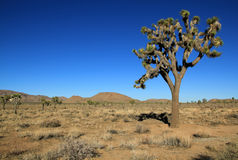 Joshua Tree Fotos de archivo libres de regalías
