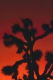 Joshua Tree Imágenes de archivo libres de regalías