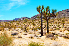 Joshua Tree Photos libres de droits