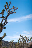 joshua tree Royaltyfri Bild