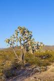 Joshua Tree Imagens de Stock