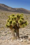 joshua tree Obrazy Royalty Free