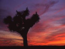 Joshua Tree. A Joshua Tree and a California Sunset stock images