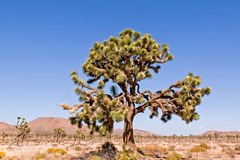Joshua Tree Royalty-vrije Stock Foto