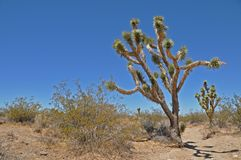 Joshua tree 6 Royalty Free Stock Photo