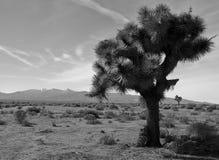 Joshua Tree. A Joshua tree in the Mojave Desert of Southern California Royalty Free Stock Photography