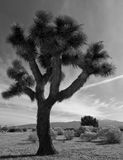 Joshua Tree. A Joshua tree in the Mojave Desert of Southern California Stock Image