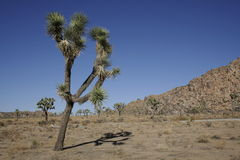 Joshua Tree. A Joshua tree found in the Joshua Tree National Park, CA, sitting in front of a road and a rocky hill, beneath a cloudless blue sky Stock Photo