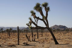 Joshua Tree. A Joshua tree grows amid the dry grass and other such trees dotting the field beneath a cloudless blue sky in the Joshua Tree National Park Royalty Free Stock Photos