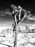Joshua Tree Photographie stock