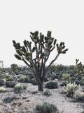 Joshua Tree Fotos de Stock Royalty Free