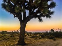 Joshua Tree Lizenzfreies Stockfoto