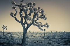 Joshua Tree Abstract. An abstract view of the Joshua Tree in the high California desert stock images