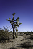 Joshua tree. Against a blue sky Royalty Free Stock Image