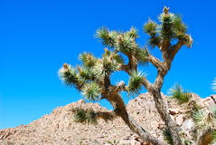 Joshua Tree And Sky Stock Images