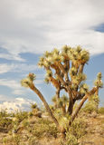 Joshua Tree in the Arizona Desert Royalty Free Stock Photo