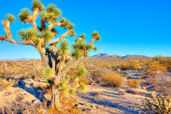 Joshua Tree Stock Photos
