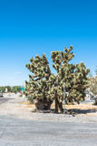 Joshua Tree, Beatty, Nevada. Joshua Tree along the Main Street in Beatty, Nevada Stock Image