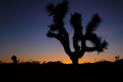 Joshua Tree bij zonsondergang Royalty-vrije Stock Afbeeldingen