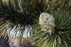 Joshua Tree Bloom Fotografía de archivo libre de regalías