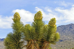 Joshua Tree in Bloom in the Desert Royalty Free Stock Photos