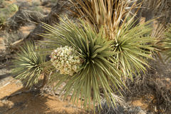 The Joshua Tree in bloom Royalty Free Stock Images