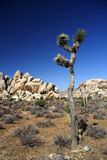 Joshua Tree & Boulders Royalty Free Stock Image
