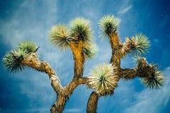 Joshua Tree brillante alla notte fotografie stock libere da diritti