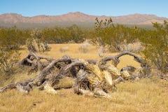Joshua Tree caido Imagen de archivo libre de regalías