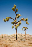 Joshua tree in California Stock Image