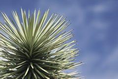 Joshua tree close-up Stock Photography