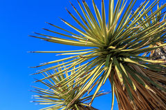 Joshua Tree Royalty Free Stock Photography