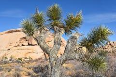 Joshua Tree Closeup Fotos de archivo