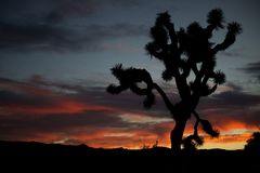 Joshua Tree contre le ciel de soirée (Joshua Tree National Park, la Californie, Etats-Unis/le 11 novembre 2014) Images stock