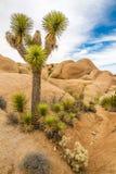 Joshua Tree dans les roches enormes - Joshua Tree N P Photo stock