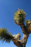 Joshua Tree in Desert Stock Image