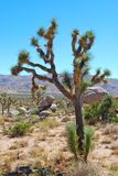 Joshua Tree and desert Royalty Free Stock Photos