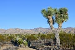 Joshua tree in the desert Stock Photography