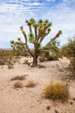 Joshua Tree in the Desert Royalty Free Stock Image
