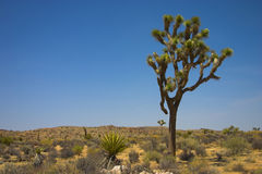 Joshua Tree in the desert stock photo