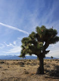 Joshua Tree in Desert. A Joshua tree in the Mojave Desert of Southern California with mountains and dispersed clouds Stock Images