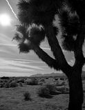 Joshua Tree in Desert Stock Photo