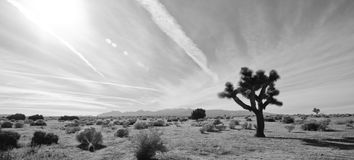 Joshua Tree in the Desert. A Joshua tree in the Mojave Desert of Southern California with bright sun and streaks of clouds Royalty Free Stock Images