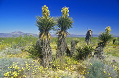 Joshua Tree Desert in bloom, Springtime, CA Royalty Free Stock Photography