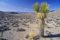Joshua Tree Desert in bloom, Yucca plants, Springtime, CA Stock Image