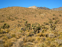 Joshua tree desert in California. Genera view of a Joshua Tree forest in the Mojave Desert (California, USA Royalty Free Stock Photos
